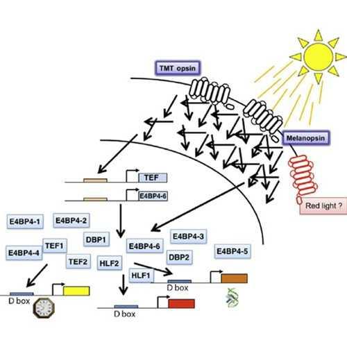 Zebrafish Circadian Clock Model Analysis Services