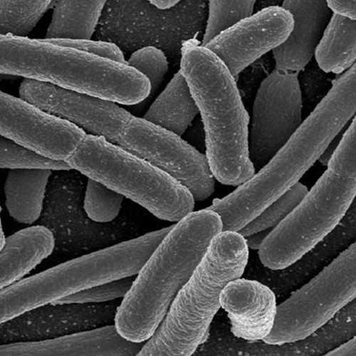 Baculovirus AcMNPV Expressing E. coli Cell Line (DE35)