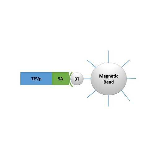 TEV Protease-Labelled Magnetic Nanoparticles