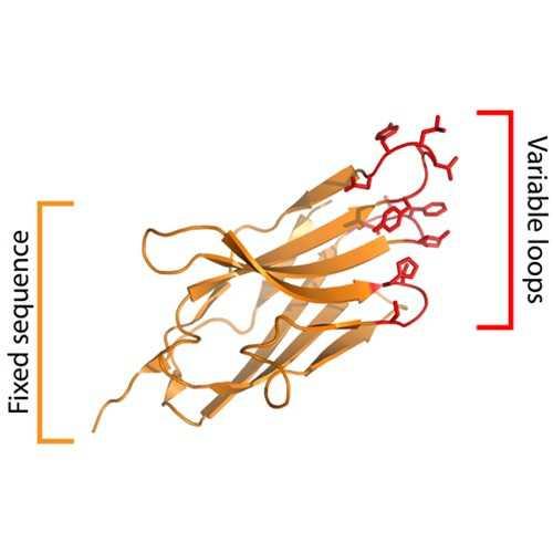 Yeast-Display Nanobody Library (NbLib)