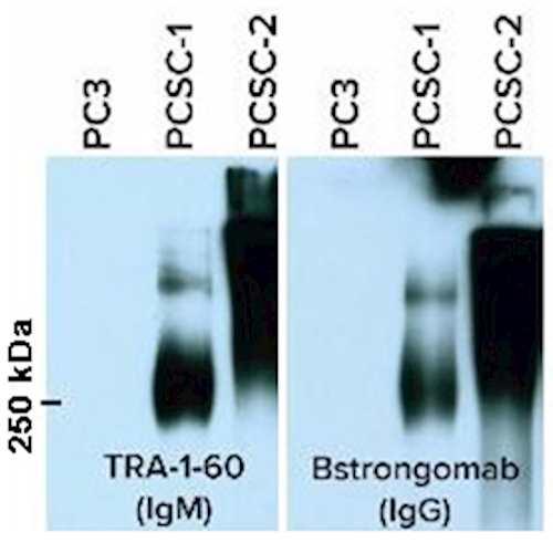 Anti-TRA-1-60 [Bstrongomab-9A] Antibody