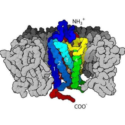 Anti-Mu Opioid Receptor, N-terminal [NT2] Antibody