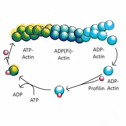 Anti-Actin-2 [mAb13a] Antibody