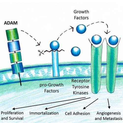 Anti-ADAM15 (mouse), Cytoplasmic Domain Antibody