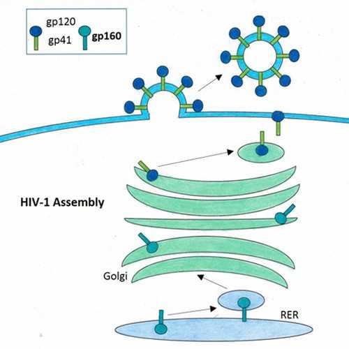 Anti-HIV-1 Glycoprotein 160 [gp160-1.9] Antibody