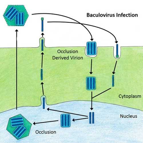 Anti-Baculovirus, Occlusion Derived Virus Envelope Protein E25 (p25) [MKBAC1-65.2] Antibody