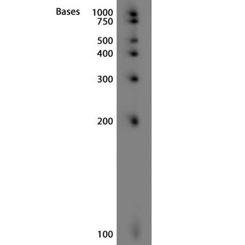 Biotinylated sRNA Ladder